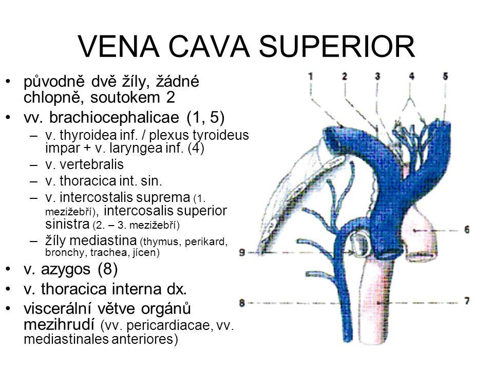 VENA CAVA SUPERIOR původně dvě žíly, žádné chlopně, soutokem 2