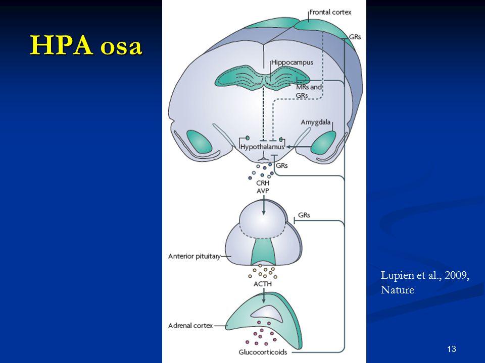 HPA osa Vysvětli jak funguje. Lupien et al., 2009, Nature 13 13