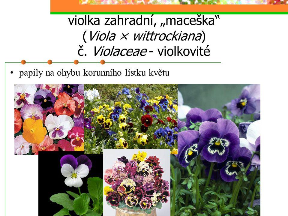 """violka zahradní, """"maceška (Viola × wittrockiana) č"""