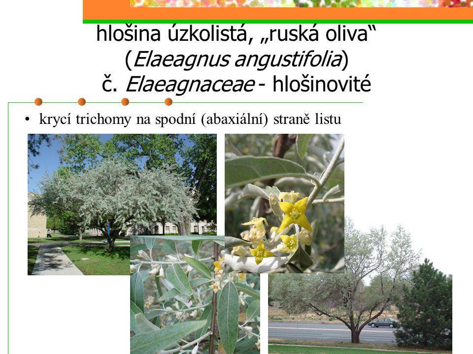 "hlošina úzkolistá, ""ruská oliva (Elaeagnus angustifolia) č"