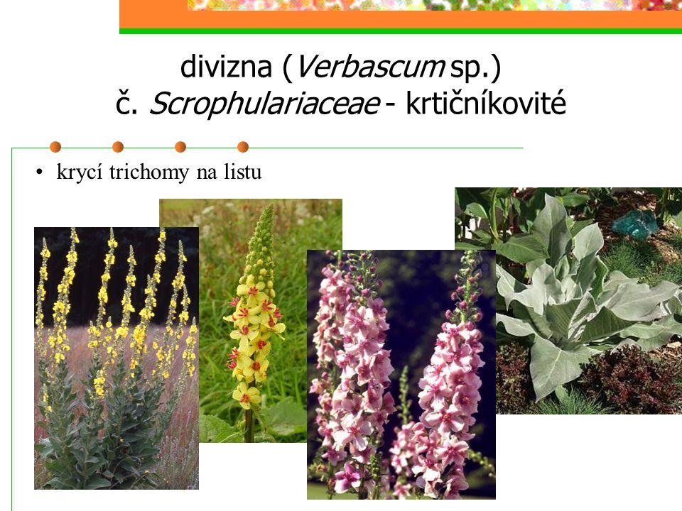divizna (Verbascum sp.) č. Scrophulariaceae - krtičníkovité