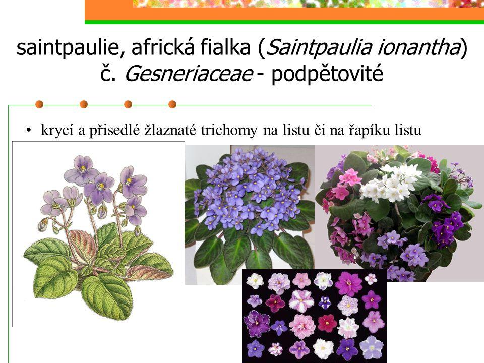 saintpaulie, africká fialka (Saintpaulia ionantha) č