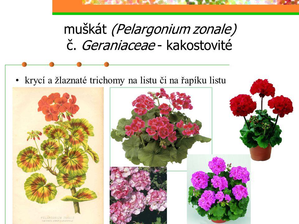 muškát (Pelargonium zonale) č. Geraniaceae - kakostovité