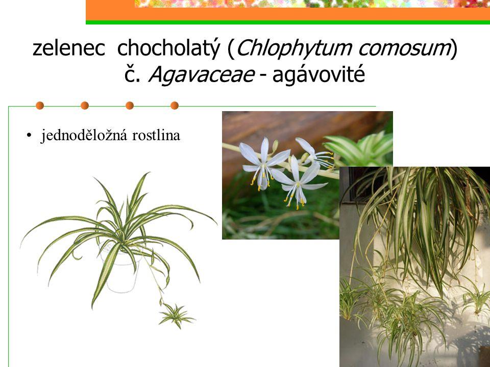 zelenec chocholatý (Chlophytum comosum) č. Agavaceae - agávovité