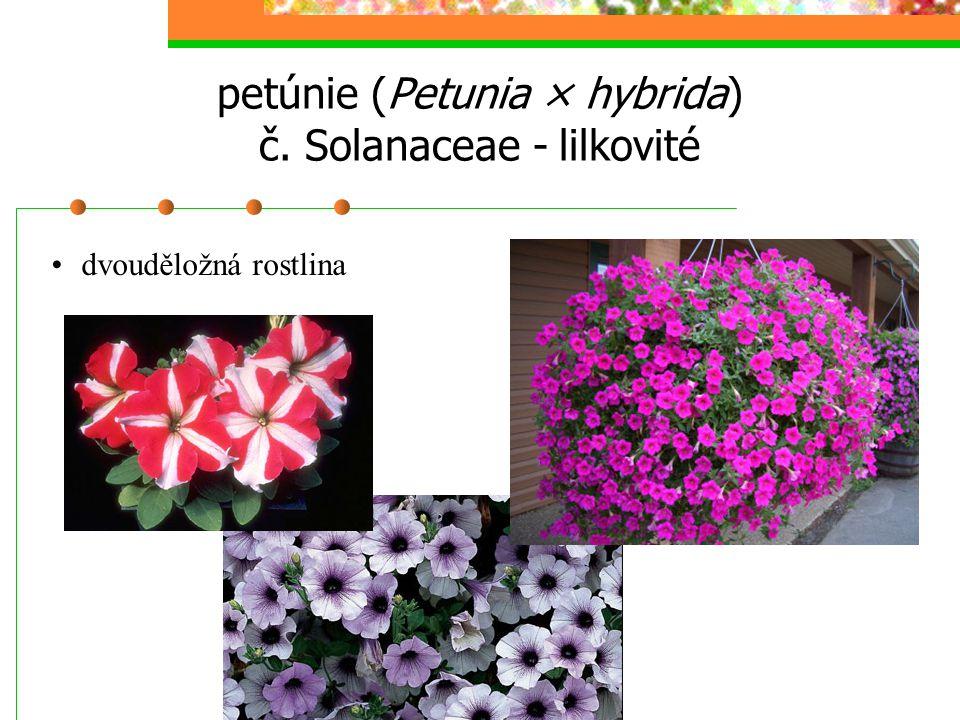 petúnie (Petunia × hybrida) č. Solanaceae - lilkovité