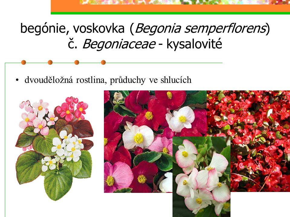 begónie, voskovka (Begonia semperflorens) č. Begoniaceae - kysalovité