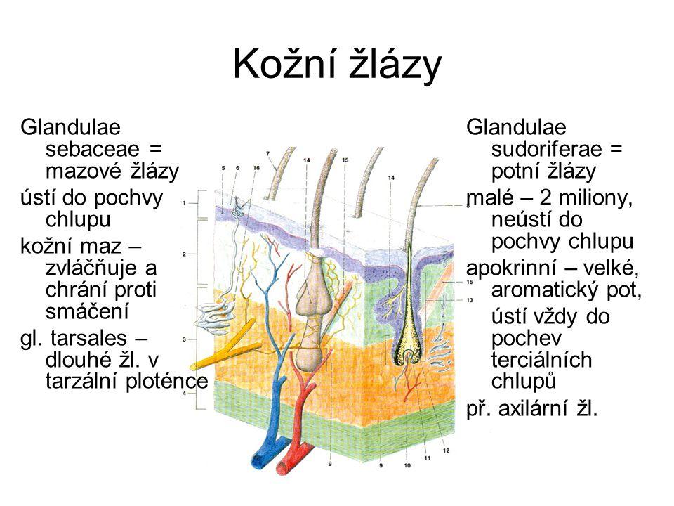 Kožní žlázy Glandulae sebaceae = mazové žlázy ústí do pochvy chlupu