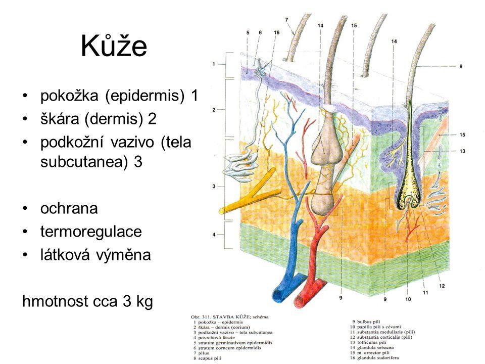 Kůže pokožka (epidermis) 1 škára (dermis) 2