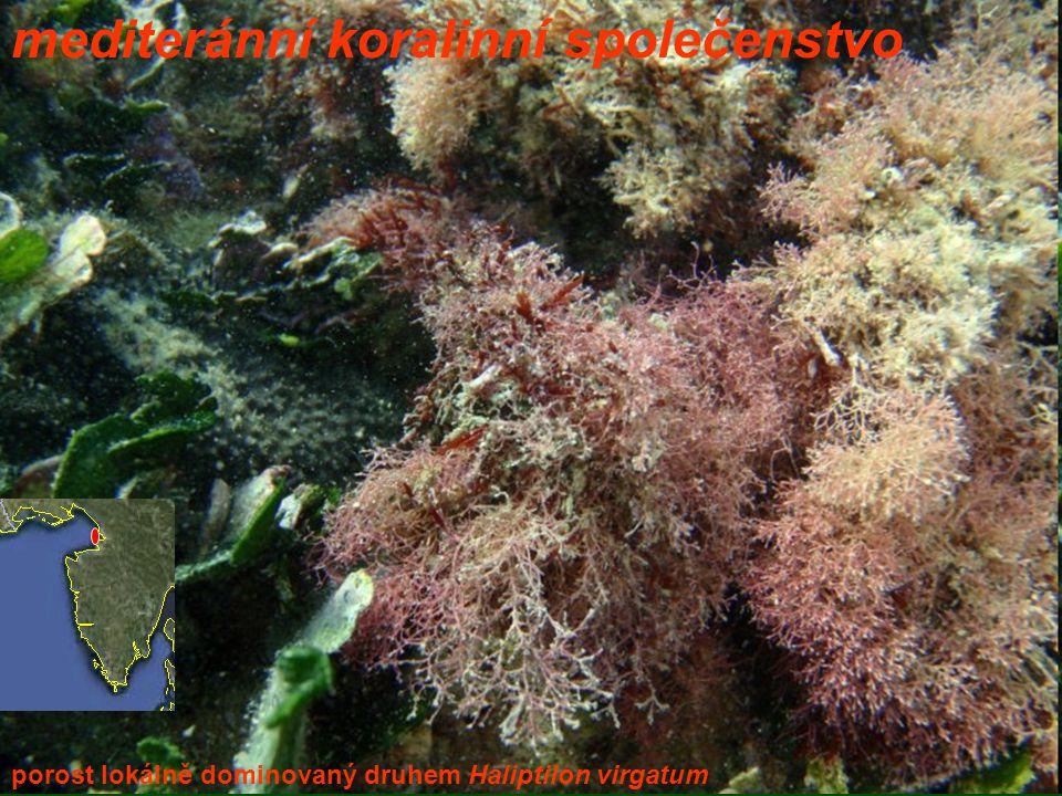mediteránní koralinní společenstvo