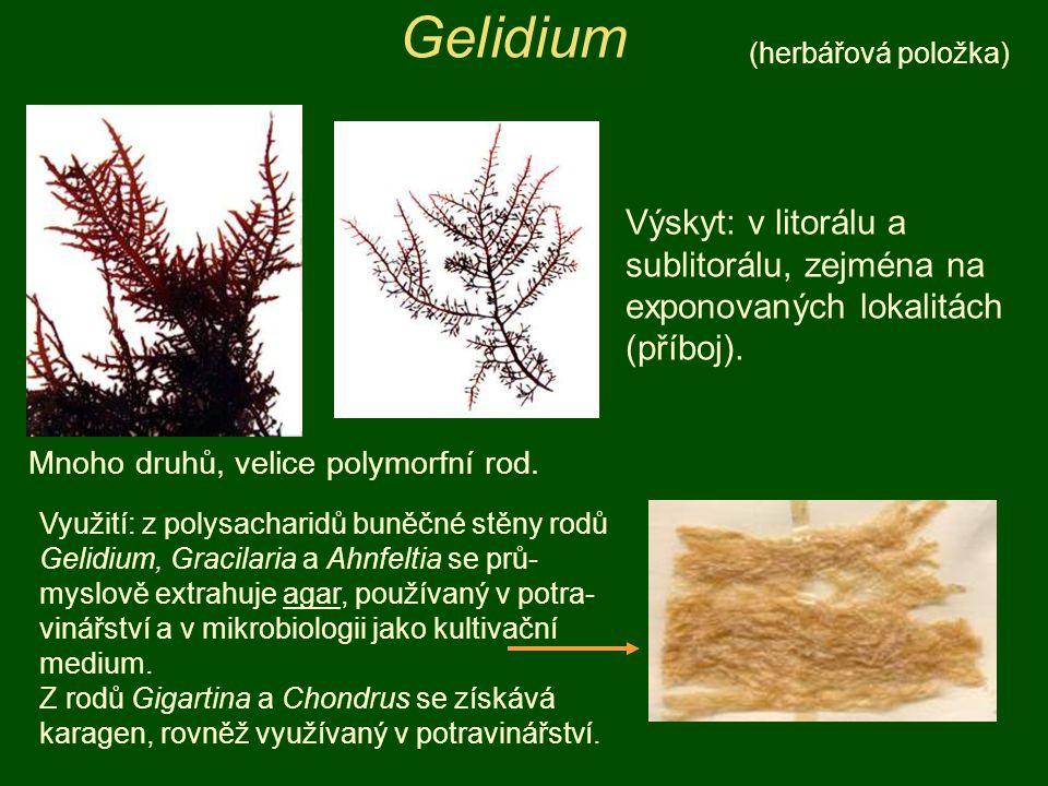 Gelidium (herbářová položka) Výskyt: v litorálu a sublitorálu, zejména na exponovaných lokalitách (příboj).