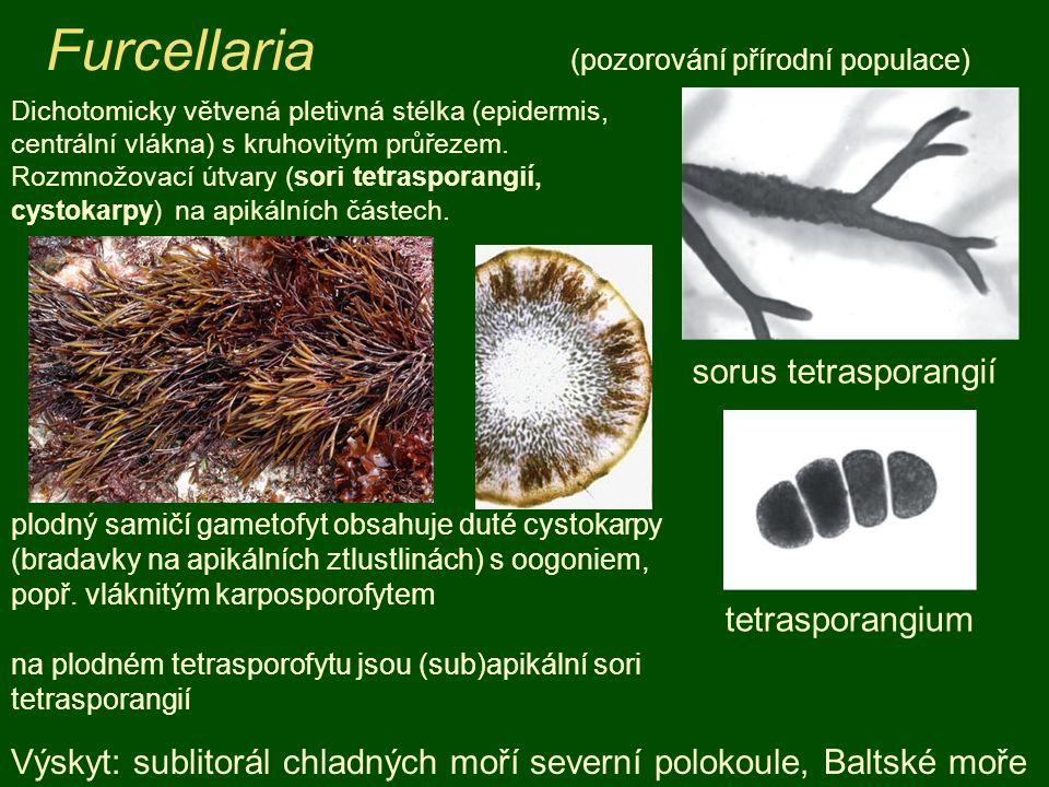 Furcellaria (pozorování přírodní populace)