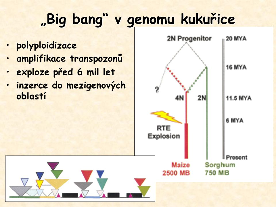"""Big bang v genomu kukuřice"
