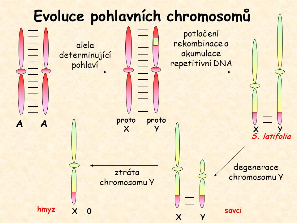 Evoluce pohlavních chromosomů