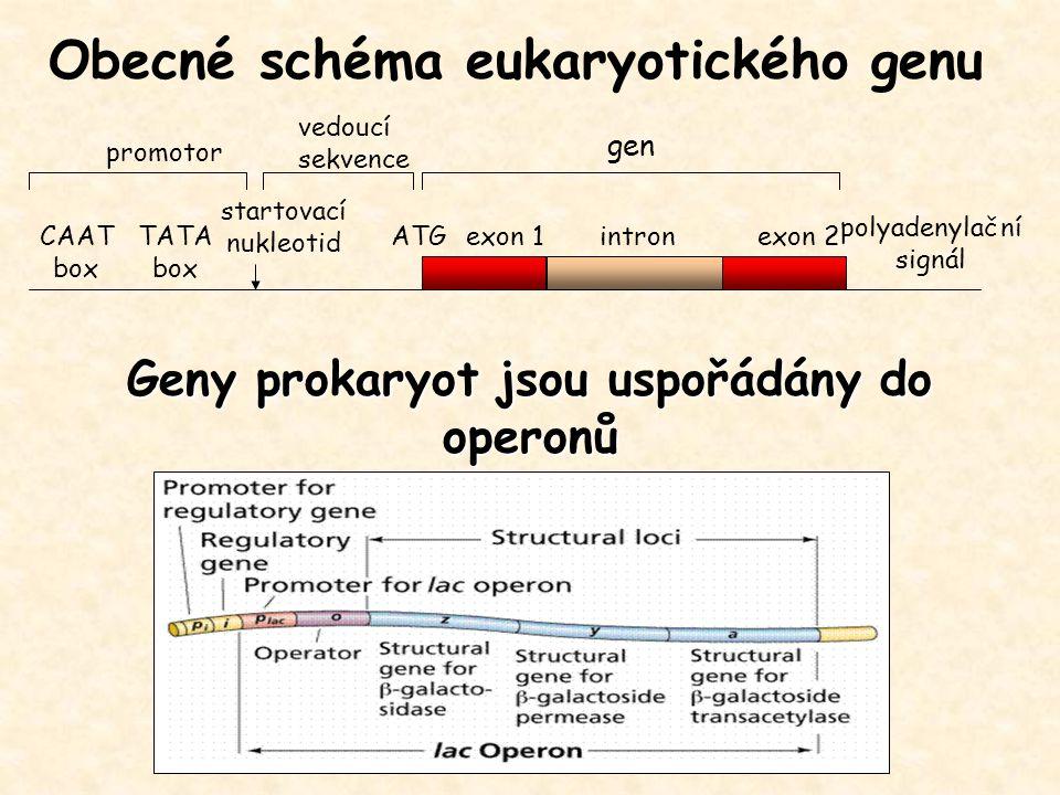 Geny prokaryot jsou uspořádány do operonů