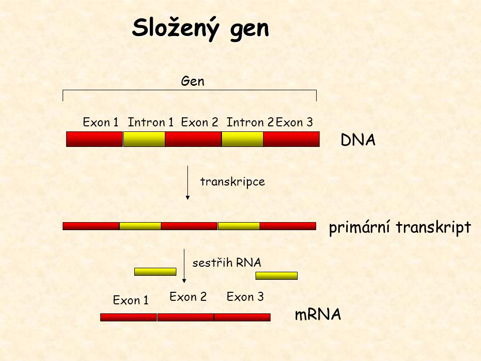 Složený gen DNA primární transkript mRNA Gen Exon 1 Intron 1 Exon 2