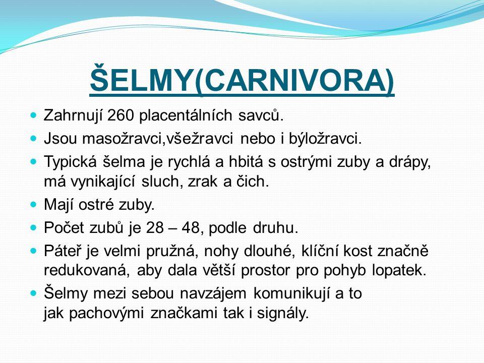 ŠELMY(CARNIVORA) Zahrnují 260 placentálních savců.