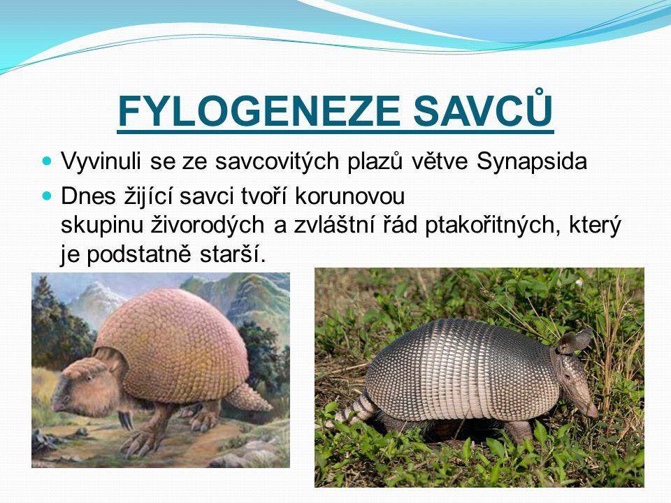 FYLOGENEZE SAVCŮ Vyvinuli se ze savcovitých plazů větve Synapsida