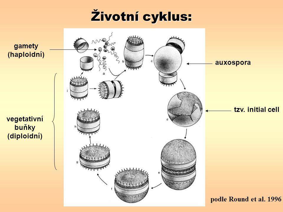 vegetativní buňky (diploidní)