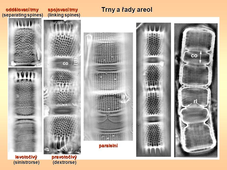 Trny a řady areol oddělovací trny (separating spines) spojovací trny