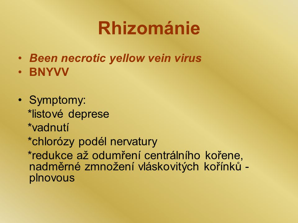 Rhizománie Been necrotic yellow vein virus BNYVV Symptomy: