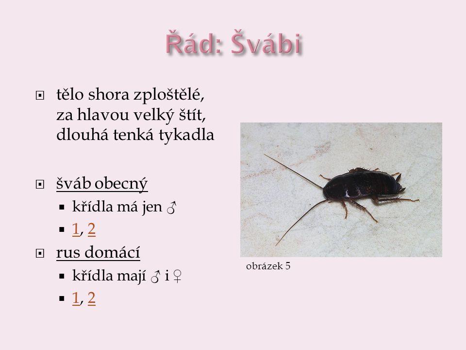 Řád: Švábi tělo shora zploštělé, za hlavou velký štít, dlouhá tenká tykadla. šváb obecný. křídla má jen ♂