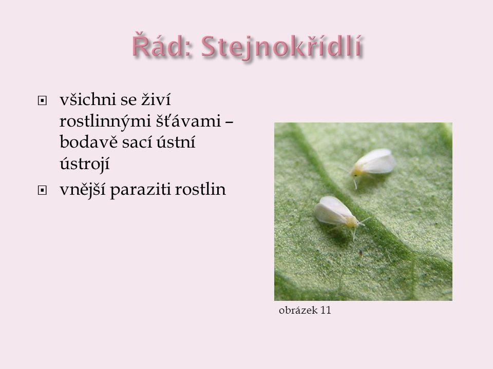 Řád: Stejnokřídlí všichni se živí rostlinnými šťávami – bodavě sací ústní ústrojí. vnější paraziti rostlin.