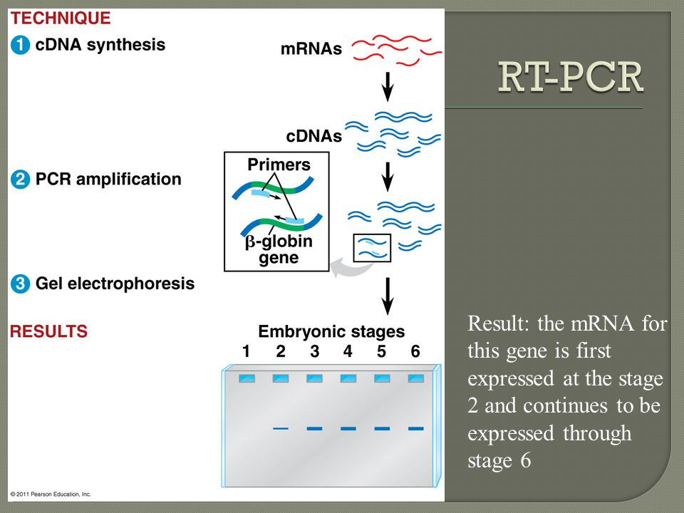 RT-PCR Result: the mRNA for this gene is first expressed at the stage 2 and continues to be expressed through stage 6.