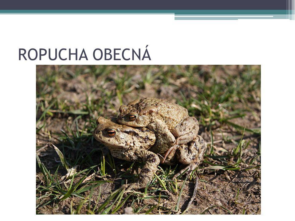 ROPUCHA OBECNÁ