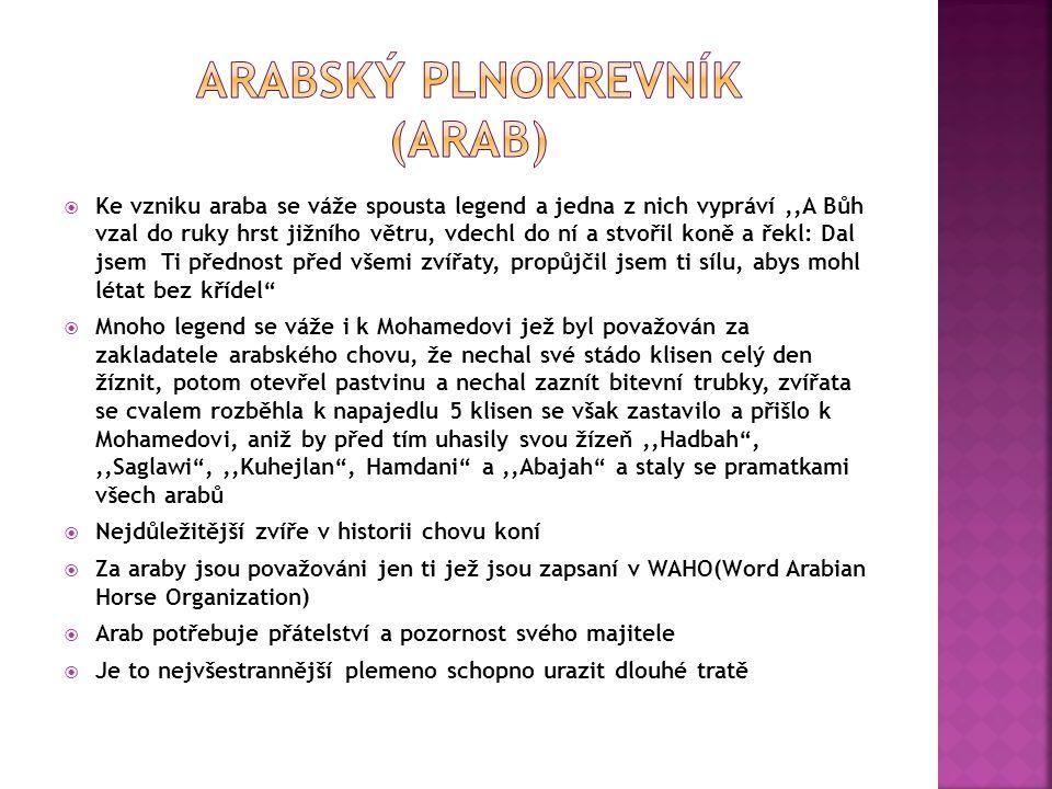 Arabský plnokrevník (arab)