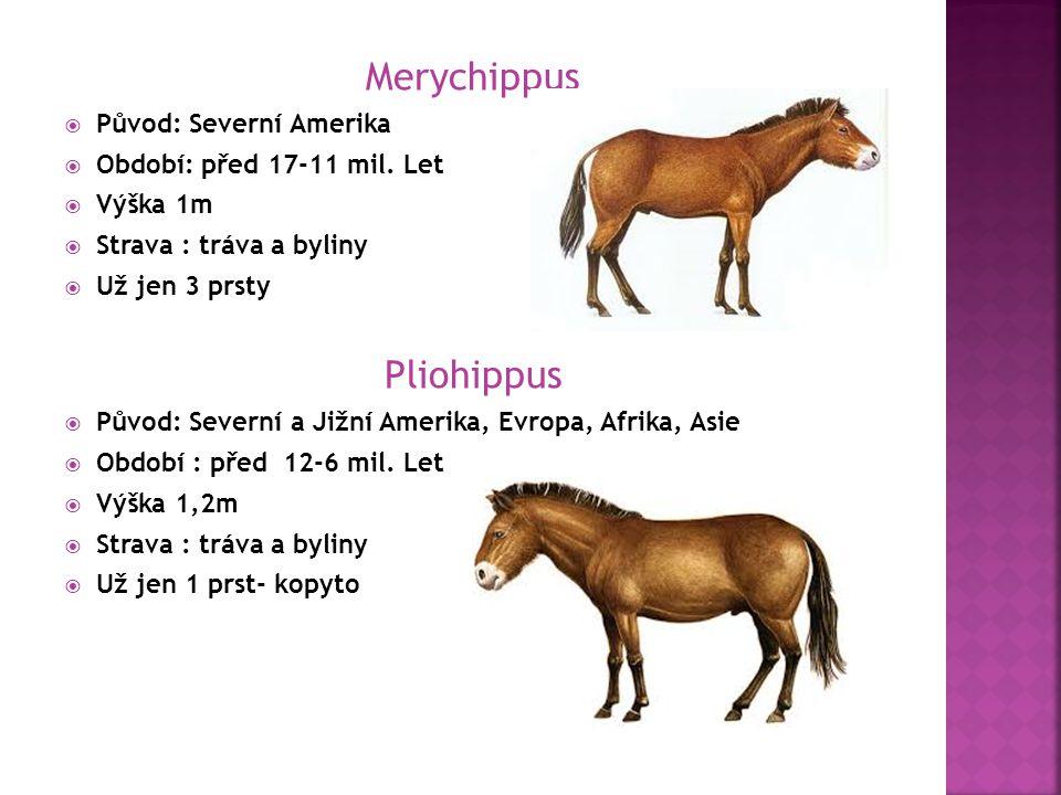 Merychippus Pliohippus Původ: Severní Amerika