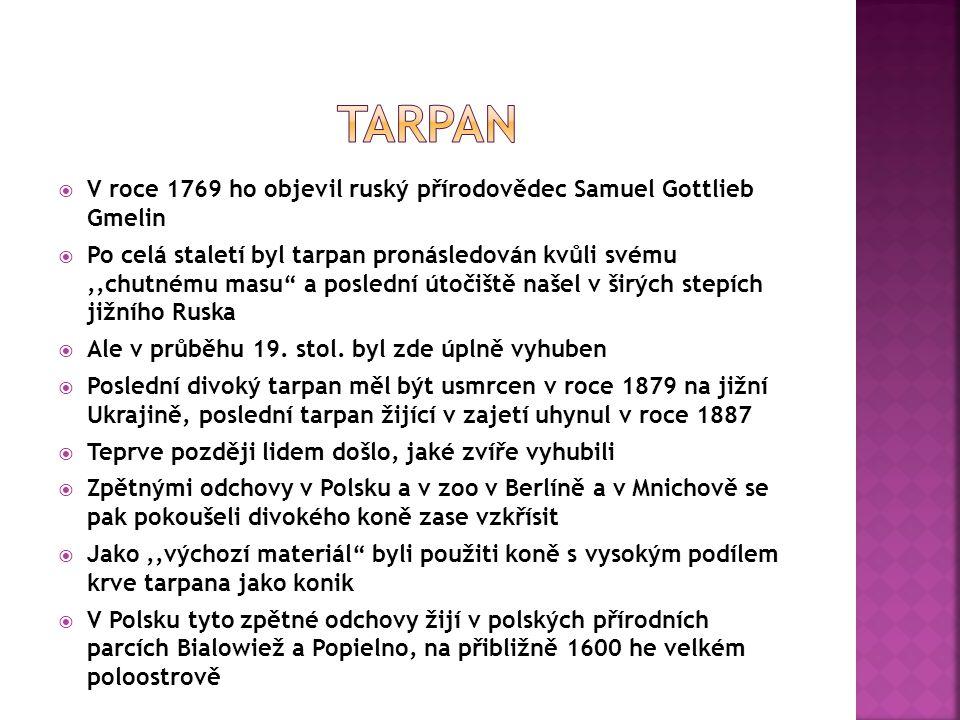 tarpan V roce 1769 ho objevil ruský přírodovědec Samuel Gottlieb Gmelin.