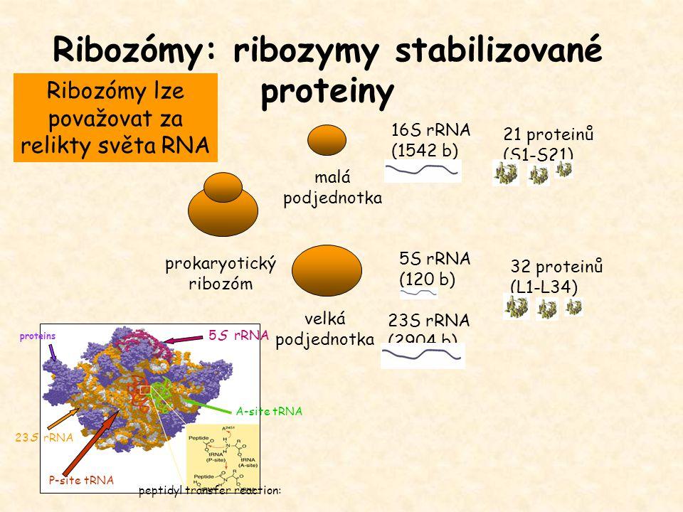 Ribozómy: ribozymy stabilizované proteiny