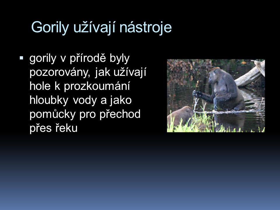 Gorily užívají nástroje