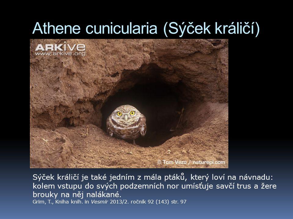 Athene cunicularia (Sýček králičí)