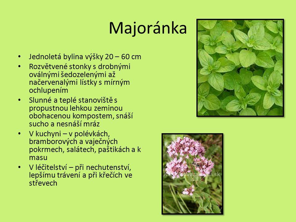 Majoránka Jednoletá bylina výšky 20 – 60 cm