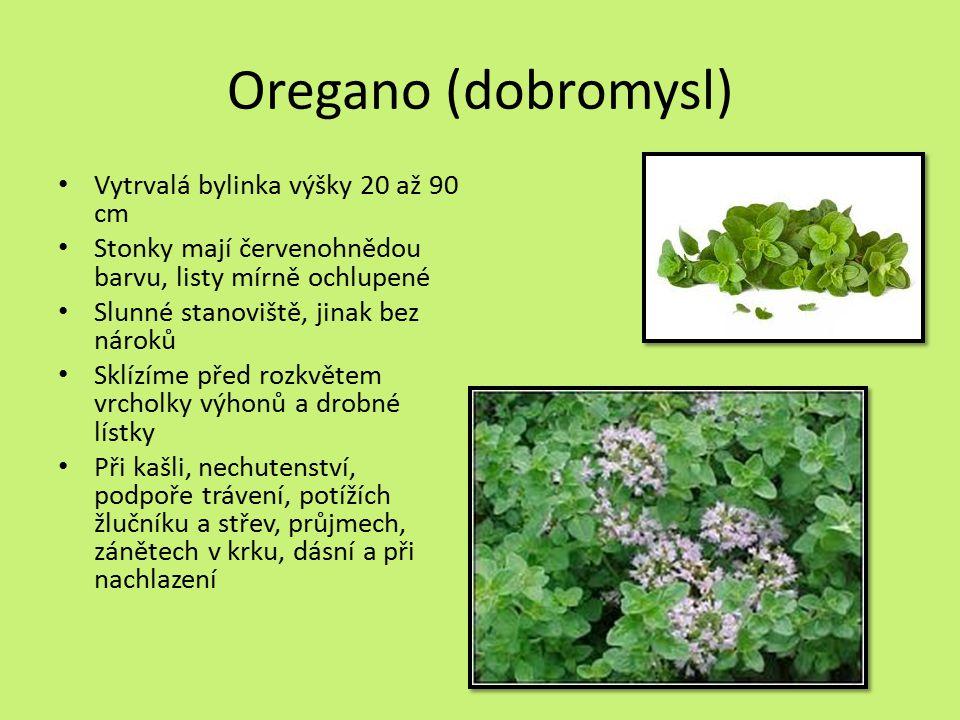 Oregano (dobromysl) Vytrvalá bylinka výšky 20 až 90 cm