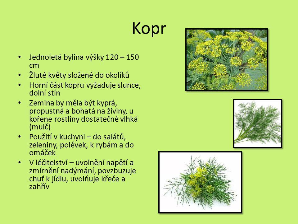 Kopr Jednoletá bylina výšky 120 – 150 cm
