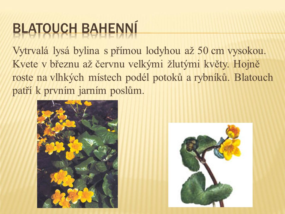 Blatouch bahenní