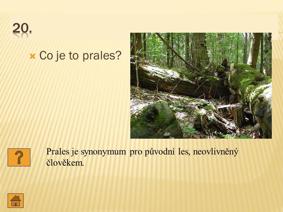 20. Co je to prales Prales je synonymum pro původní les, neovlivněný člověkem.