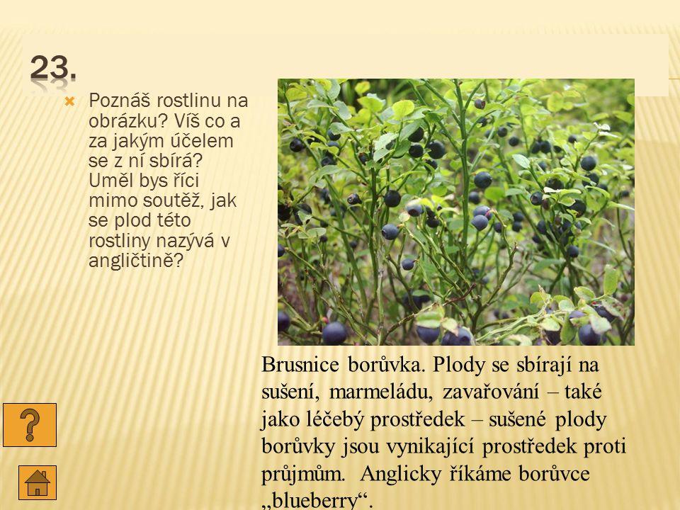 23. Poznáš rostlinu na obrázku Víš co a za jakým účelem se z ní sbírá Uměl bys říci mimo soutěž, jak se plod této rostliny nazývá v angličtině