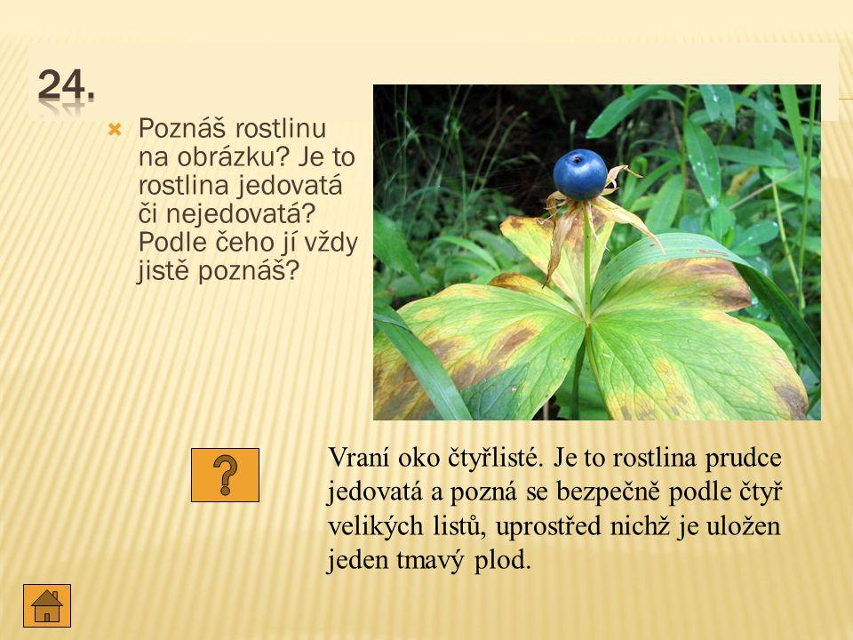 24. Poznáš rostlinu na obrázku Je to rostlina jedovatá či nejedovatá Podle čeho jí vždy jistě poznáš