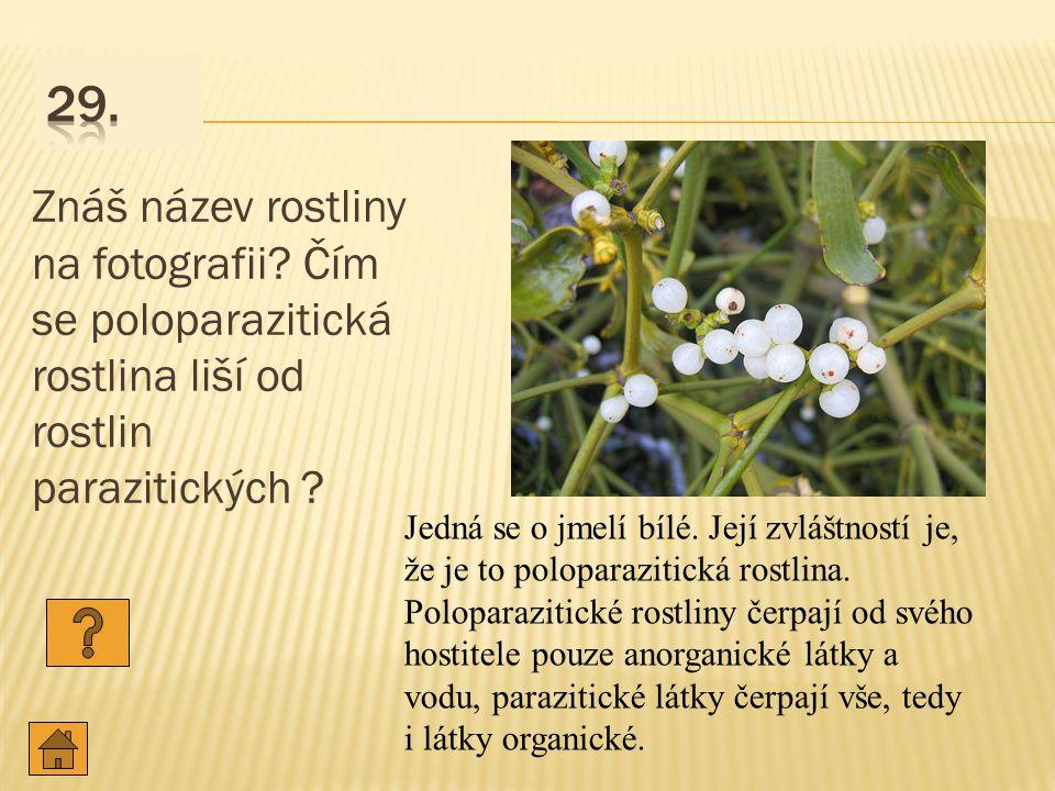 29. Znáš název rostliny na fotografii Čím se poloparazitická rostlina liší od rostlin parazitických