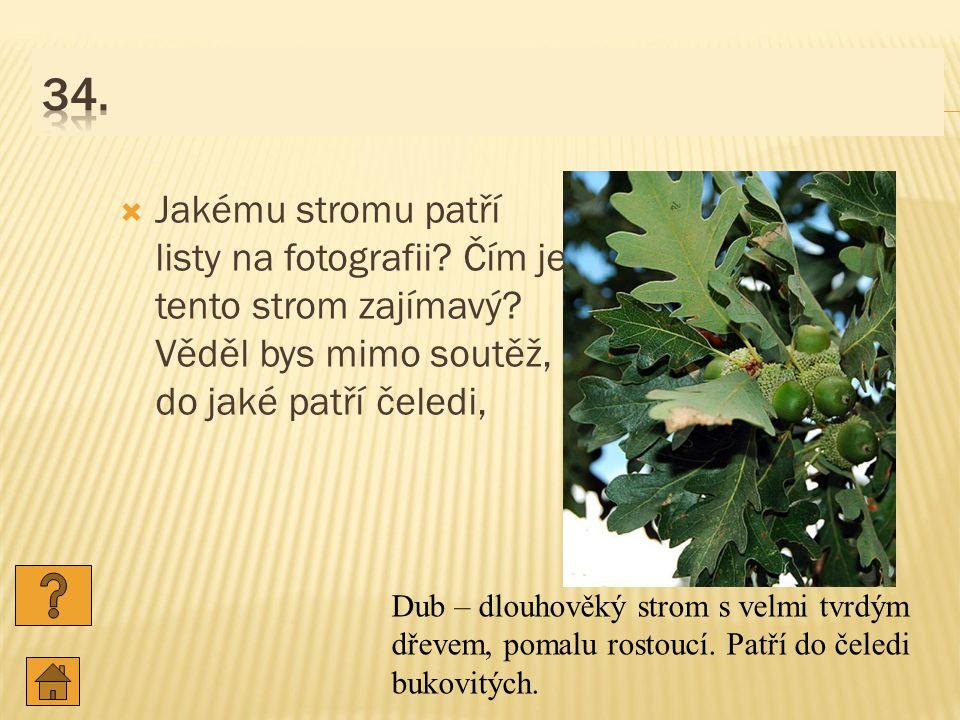 34. Jakému stromu patří listy na fotografii Čím je tento strom zajímavý Věděl bys mimo soutěž, do jaké patří čeledi,