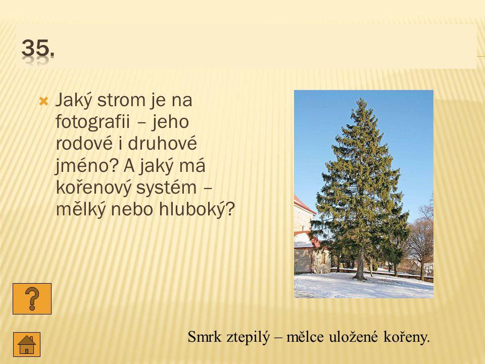 35. Jaký strom je na fotografii – jeho rodové i druhové jméno A jaký má kořenový systém – mělký nebo hluboký