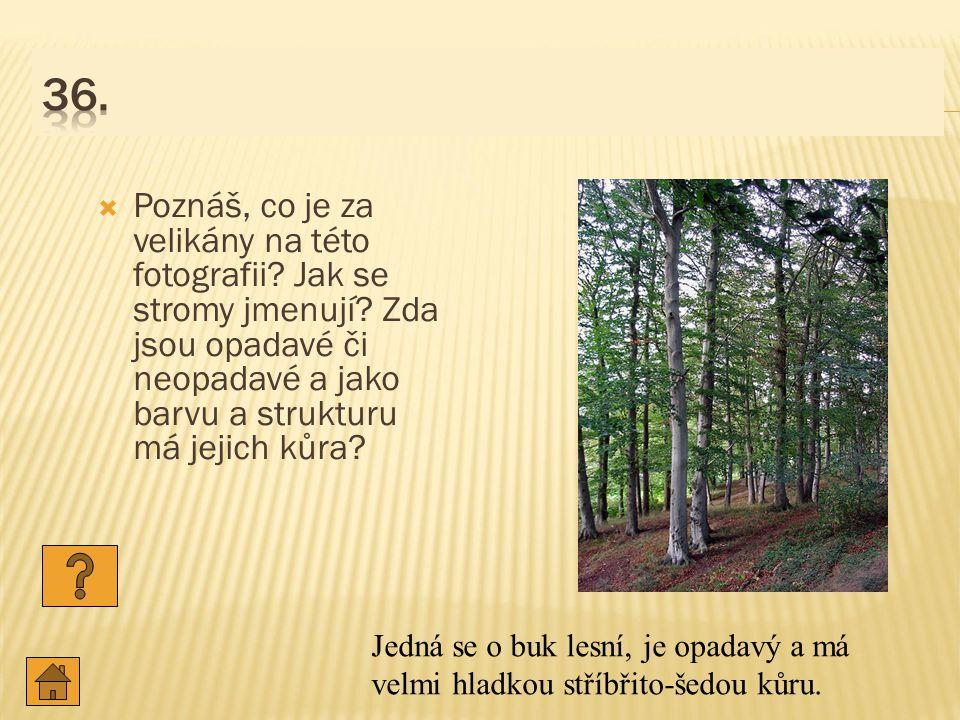 36. Poznáš, co je za velikány na této fotografii Jak se stromy jmenují Zda jsou opadavé či neopadavé a jako barvu a strukturu má jejich kůra