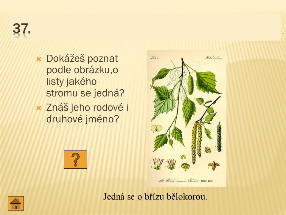 37. Dokážeš poznat podle obrázku,o listy jakého stromu se jedná