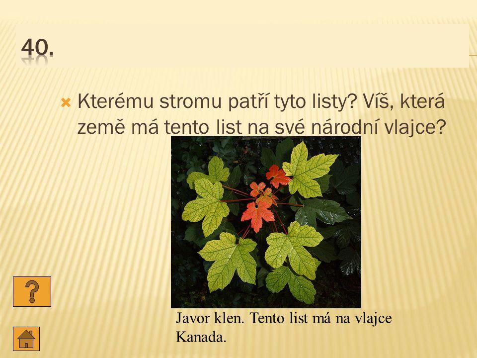 40. Kterému stromu patří tyto listy. Víš, která země má tento list na své národní vlajce.
