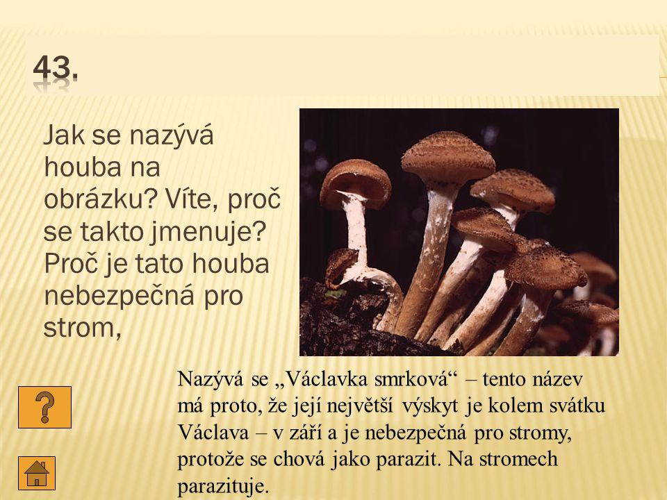 43. Jak se nazývá houba na obrázku Víte, proč se takto jmenuje Proč je tato houba nebezpečná pro strom,
