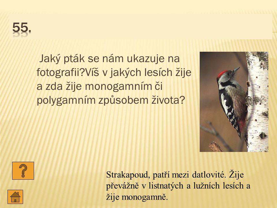 55. Jaký pták se nám ukazuje na fotografii Víš v jakých lesích žije a zda žije monogamním či polygamním způsobem života