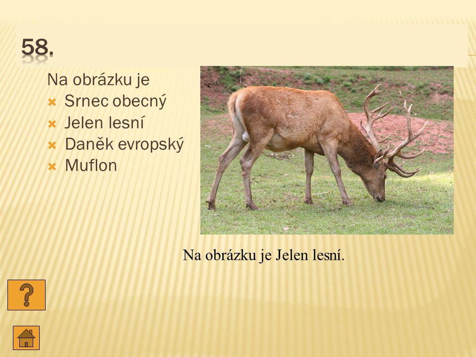 58. Na obrázku je Srnec obecný Jelen lesní Daněk evropský Muflon